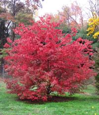 Cornus Rosy Teacups® Herbstfärbung (by Rutgers)