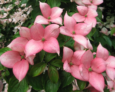 Cornus Rosy Teacups® (by Rutgers)