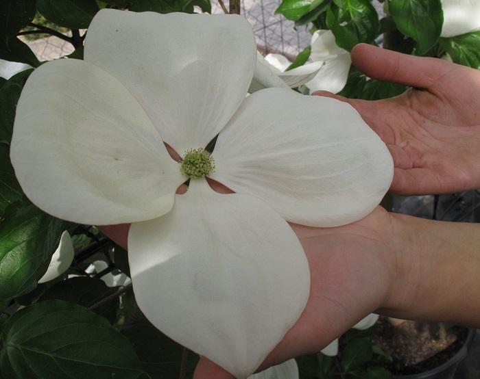 Cornus Venus® Blütengröße (by W. Eberts)