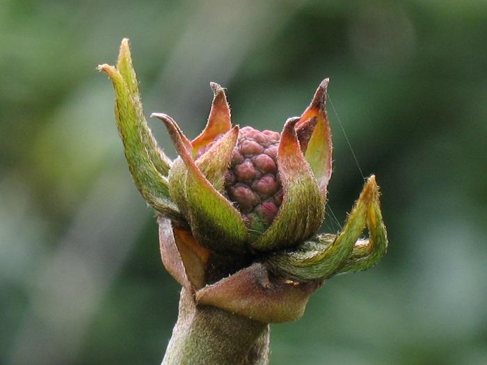 Cornus Venus® Blütenknospe (by W. Eberts)